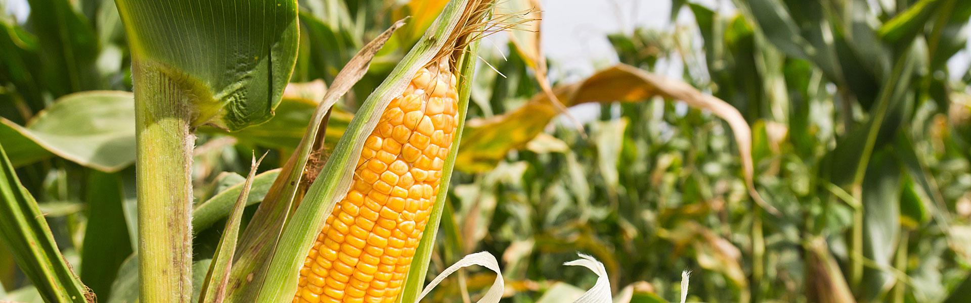 Høst majsen på det rigtige tidspunkt